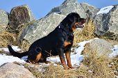 Profile Portrait Of A Sitting Rottweiler