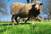 Lamb On The Grass