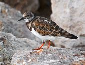 Ruddy Turnstone Shorebird In Florida In Winter