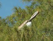 Brown Pelican In Pine Tree