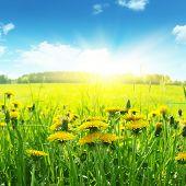 Field of flowerings dandelions, blue ky and brgiht sun.