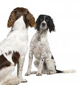 English Springer Spaniel Face To Face (1 Year)