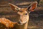 Female Of A Spotty Deer