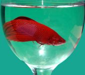 image of fighter-fish  - Cockerel or fighter fish Betta splendens in glass with water - JPG