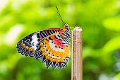 Male Leopard Lacewing Butterfly