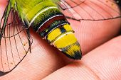 image of hawk moth  - Close up of pellucid hawk moth or greenish hyaline hawk moth  - JPG