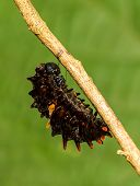 picture of cocoon tree  - Mature caterpillar of Common Windmill butterfly hanging on tree - JPG