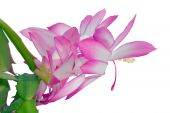 pic of schlumbergera  - picture of Schlumbergera flowers on white background - JPG