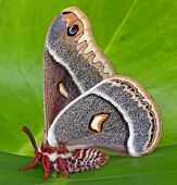 Glover's Silk Moth