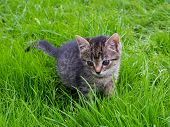 Small Striped Kitten Is Hunting On Green Grass