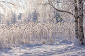 Winter Lake With Frozen Reed