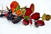 Autumn colors of Aronia.
