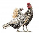 Golden Sebright Bantam rooster and silver Sebright bantam hen, isolated on white