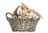 Two Satin Mini Lop rabbits in a wicker basket, isolated on white