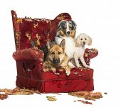 pic of crew cut  - German and Australian Shepherd and Poodle on a destroyed armchair - JPG