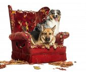 German and Australian Shepherd on a destroyed armchair, isolated on white
