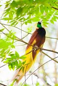 picture of bird paradise  - Lesser Bird of Paradise or Paradisaea minor - JPG