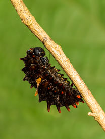 foto of cocoon tree  - Mature caterpillar of Common Windmill butterfly hanging on tree - JPG