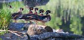 Colorful Male Wood Duck, Standing