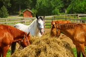 Several horses feeding at the runch on bright summer day