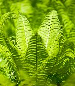 Bright green leaves of a fern as background