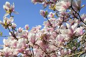 pic of saucer magnolia  - Deciduous Magnolia Tree with Saucer Tulip Shaped Flowers in Full Bloom During Spring Against Clear Blue Sky - JPG