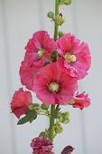 foto of hollyhock  - Alcea - JPG