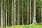 Pine Forrest