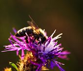 Close up of honey bee on knapweed flower