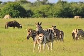 Zebra Background - Wildlife from Africa - Motherly Instinct
