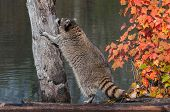 Raccoon (Procyon lotor) Contemplates Climbing Up Tree
