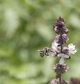Australian Native Bee Amagilla On A Cinnamon Basil Flower