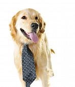 Funny golden retriever dog wearing tie isolated on white background