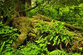 Lush foliage on fallen tree in temperate rain forest. Pacific Rim National Park, British Columbia Ca