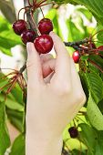 Hand picking fresh cherries from cherry tree