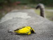 Dead Yellow Hooded Warbler Bird On A Park Bench