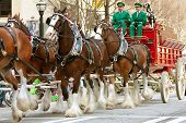 Budweiser Clydesdales Walk In St. Patrick's Parade