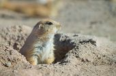 Prairie Dog At His Burrow