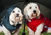 Two coton de tulear dogs in raincoats under umbrella