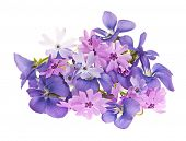 Arrangement of spring flowers purple violets and moss pink isolated on white background