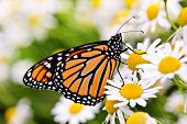 picture of monarch  - Colorful monarch butterfly sitting on chamomile flowers - JPG