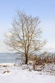 Single tree on snowy winter shore of lake Ontario in Sylvan park Toronto