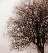 Foggy winter scene of single leafless tree in fog