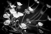 Backlit buttercup flowers in black and white