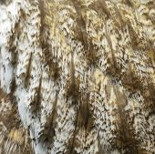 Great Grey Owl Feathers