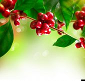 picture of coffee crop  - Coffee Plant - JPG