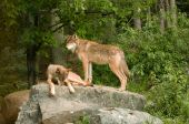 Two Rocky Mountain Wolves On Rock