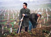 SARAJEVO, BOSNIA - DEC 24: Two gravediggers pick at the hard earth of the Lion Cemetery in Sarajevo,