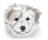 Hand drawing - portrait puppy Coton de Tulear - colored