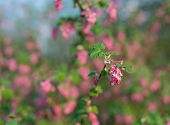 Closeup Of A Red Flowering Currant Bush